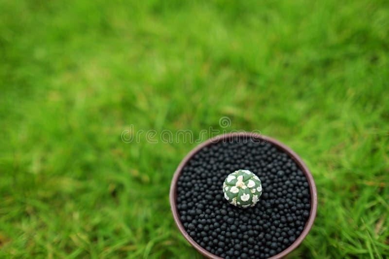 在罐的仙人掌在绿色庭院地面 免版税库存照片