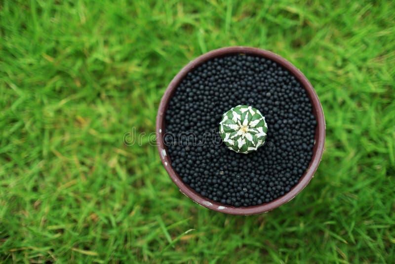 在罐的仙人掌在绿色庭院地面 免版税图库摄影