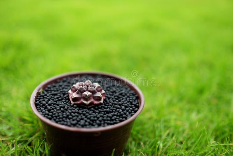在罐的各种各样的仙人掌在绿色庭院地面 在背景的典型自然草 Gymnocalycium mihanovichii白日梦-原始的T 库存照片