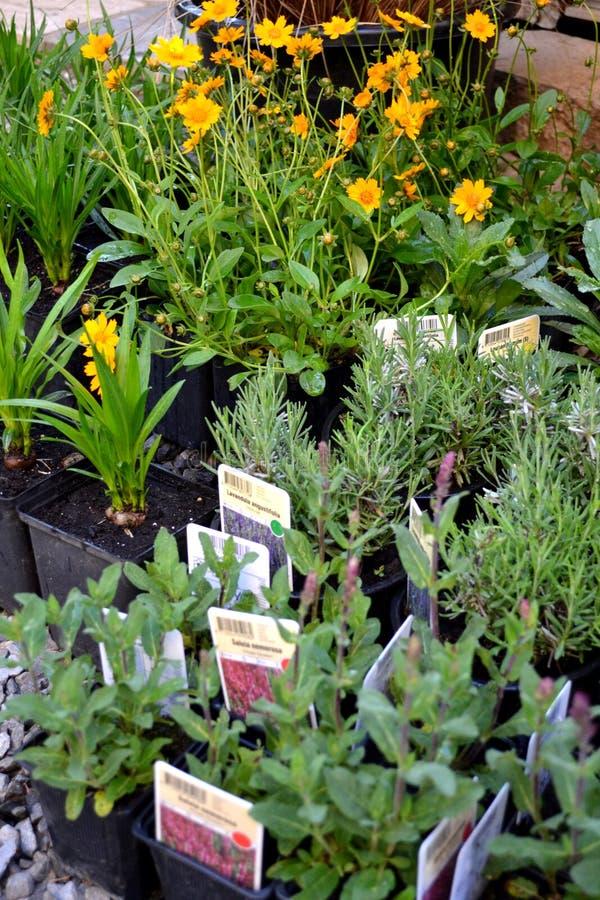 在罐的多年生植物 免版税库存照片