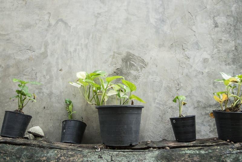 在罐的小树在木材 在水泥墙壁上的垂直的庭院 图库摄影