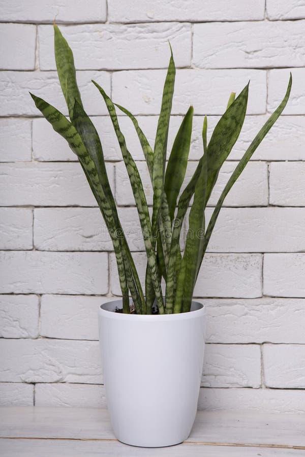 在罐的常青美好的百合科植物 免版税库存图片