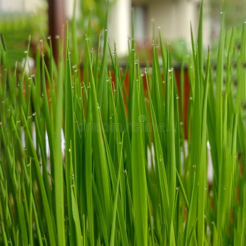在罐的幼木米在咖啡馆桌上  在碗的活绿色水多的草有雨珠的 ?? E 免版税库存照片