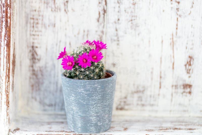 在罐的微小的开花的仙人掌 图库摄影