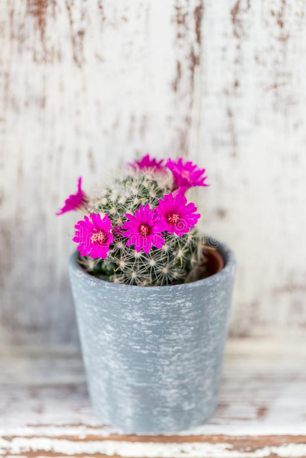 在罐的微小的开花的仙人掌 免版税库存图片