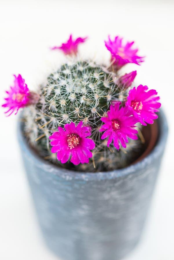 在罐的微小的开花的仙人掌 免版税库存照片