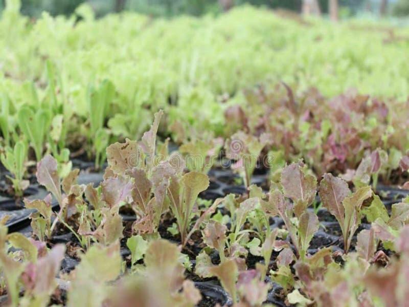 在罐的新鲜和年轻红色和绿色莴苣有机植物里面 库存图片