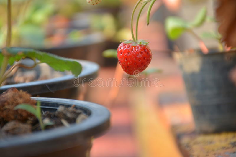 在罐的新鲜的strawbery 免版税图库摄影