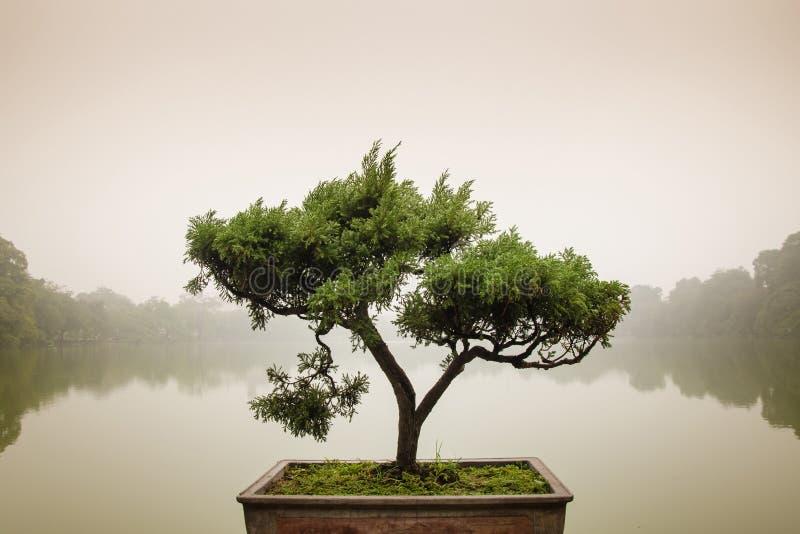 在罐的日本盆景树在禅宗庭院 免版税图库摄影