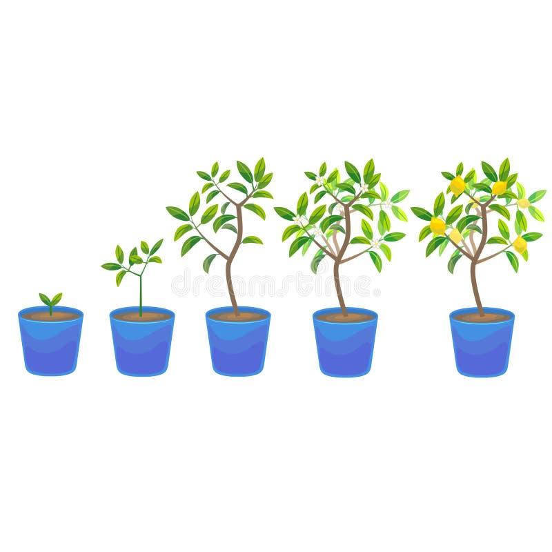 在罐的植物生长柠檬树 向量 向量例证