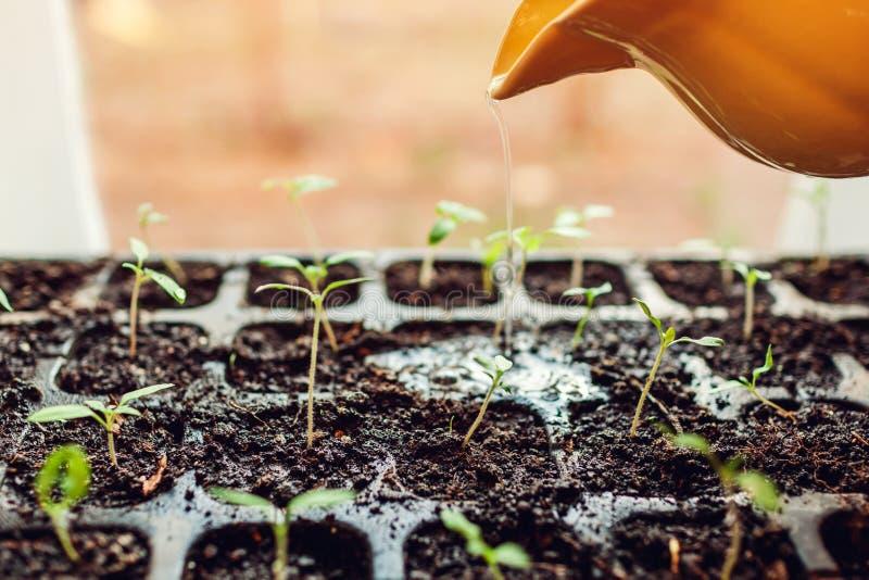 在罐的浇灌的蕃茄新芽在家 春天关心 农业和农厂概念 免版税库存照片