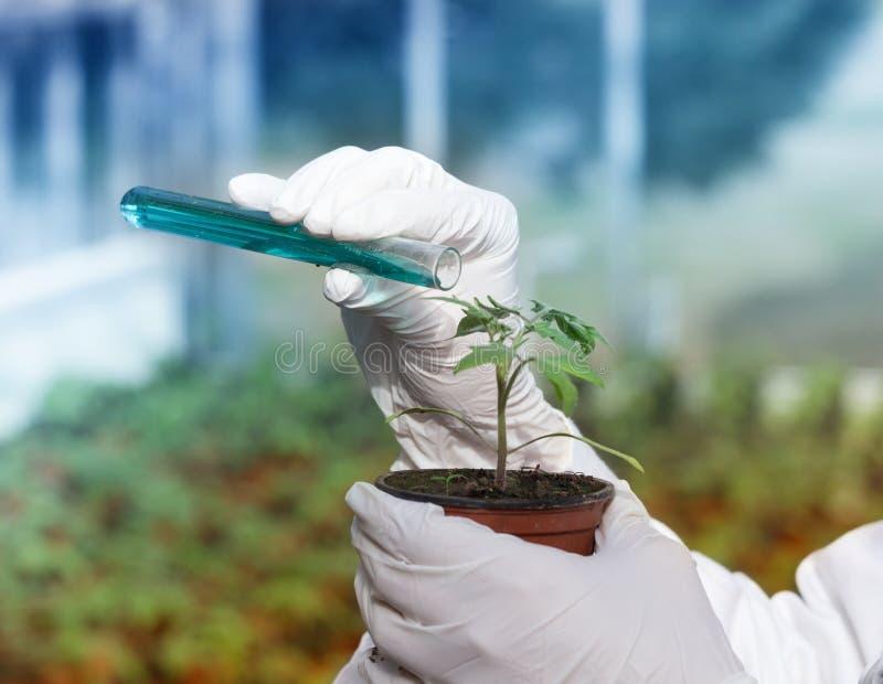 在罐的生物学家倾吐的化学制品用新芽 库存照片