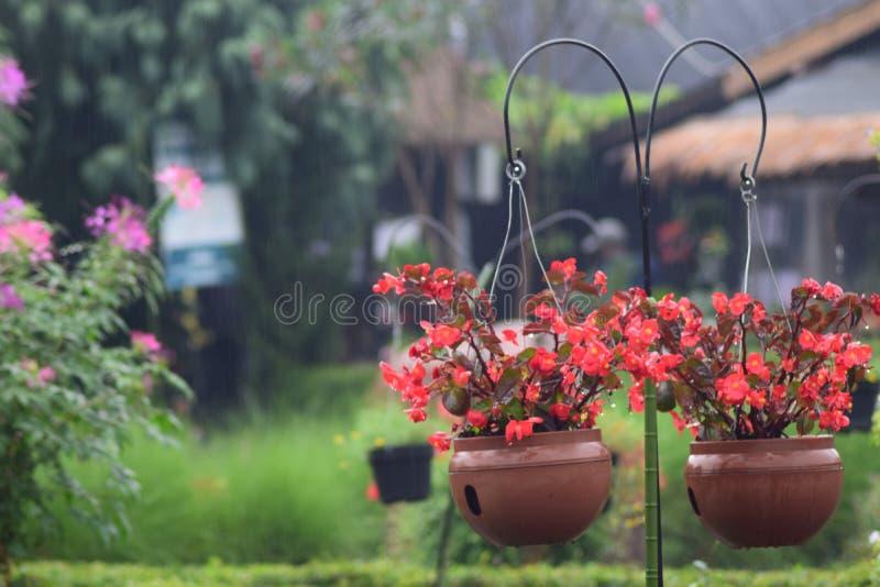 在罐的秋海棠花 免版税库存照片