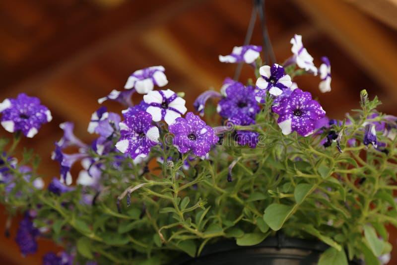 在罐的紫色和白花 免版税库存图片