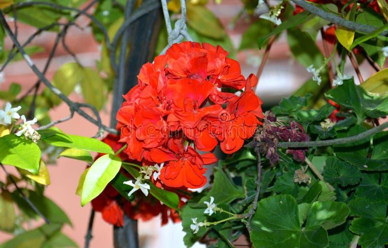 在罐的红色花在威尼斯,在意大利,欧洲 免版税库存照片