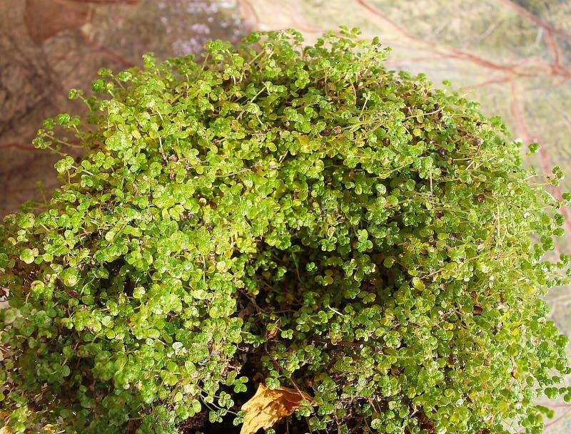 在罐的绿色,年轻幼木 免版税库存照片