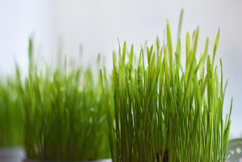 在罐的绿草在窗台 免版税库存照片