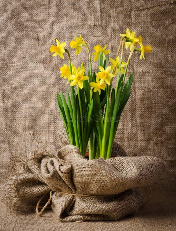 在罐的美丽的黄色黄水仙 库存照片