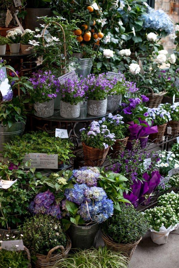 在罐的蓝色和紫罗兰色花在街市上在欧洲,维也纳 蓝色和白色八仙花属,风铃草 美丽 库存照片
