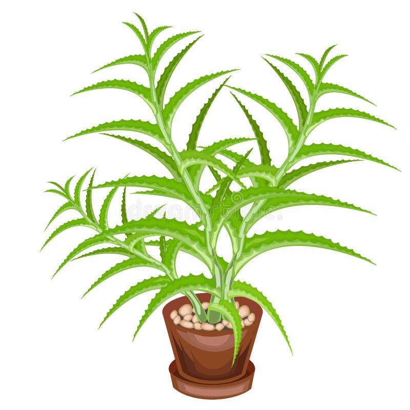 在罐的装饰室内植物被描述 芦荟维拉绿色叶子  裂缝合拢,用于医学 一个好和质朴的爱好 库存例证