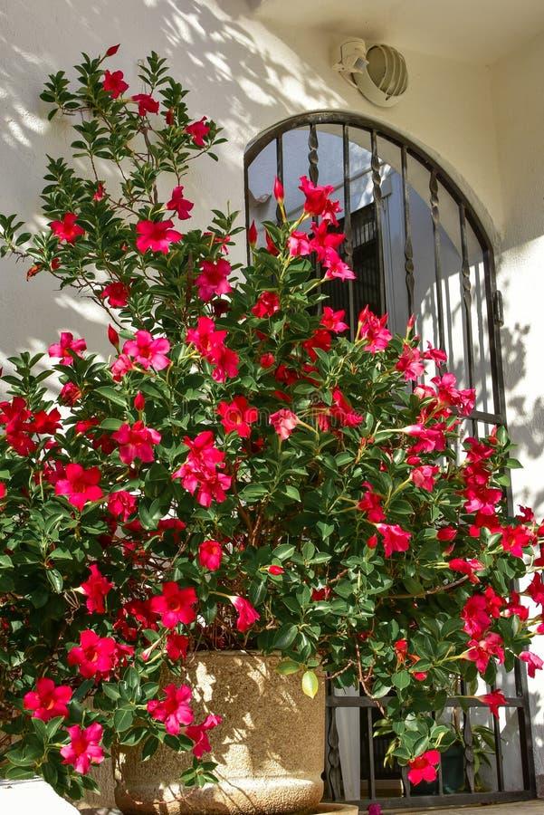 在罐的金莲花红色花对有铁门的白色墙壁 库存图片
