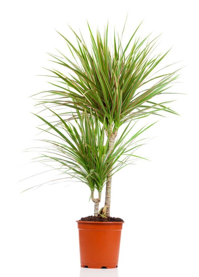 在罐的龙血树属植物 免版税库存图片