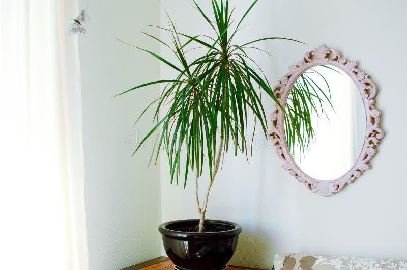 在罐的龙血树属植物reflexa 内部居住的现代空间 免版税图库摄影