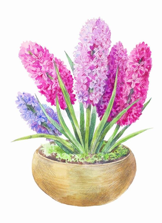 在罐的水彩风信花 桃红色在白色隔绝的春天和淡紫色花手拉的绘画  向量例证