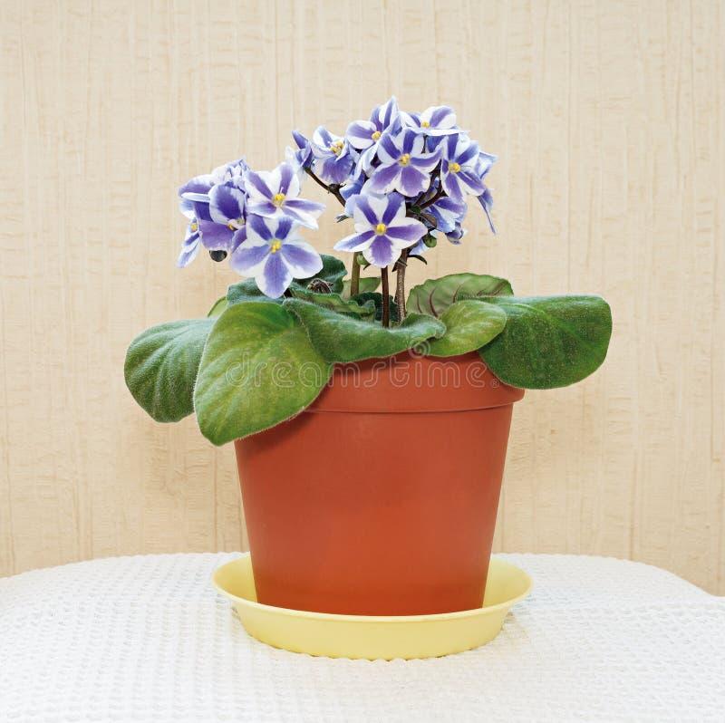 Download 在罐的紫罗兰 库存图片. 图片 包括有 工厂, 植物群, 本质, 叶子, 花卉, 紫色, 中提琴, beautifuler - 62536205