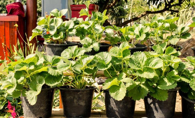 在罐的年轻草莓植物在农场, 免版税图库摄影