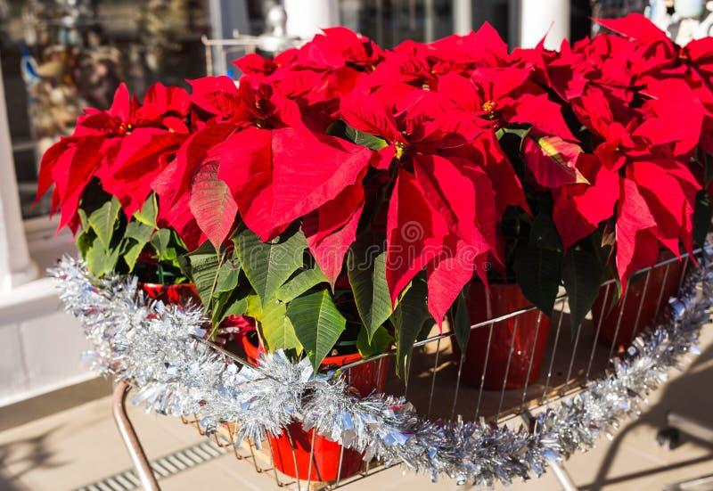 在罐,传统圣诞装饰的红色一品红花 库存图片