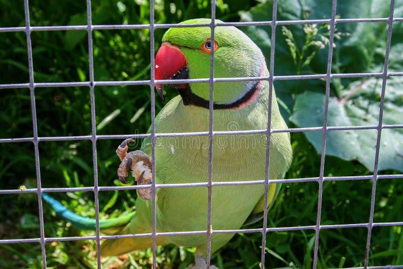 在网后的鹦鹉在草背景 免版税库存图片
