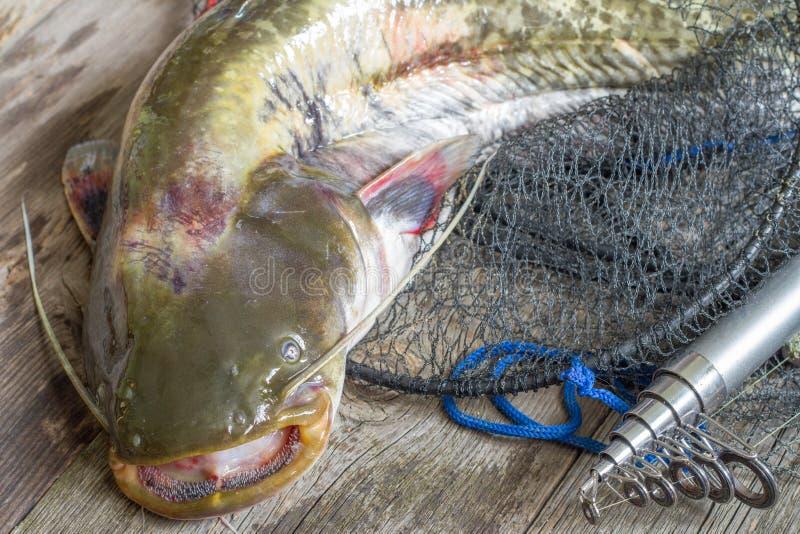 在网和钓鱼竿的欧洲鲶鱼 库存图片