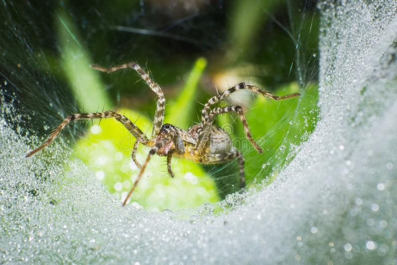 在网的宏观蜘蛛,宏观昆虫 图库摄影