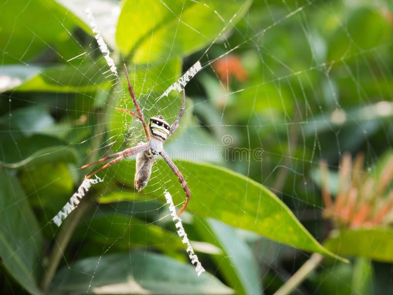 在网的蜘蛛狩猎 免版税图库摄影