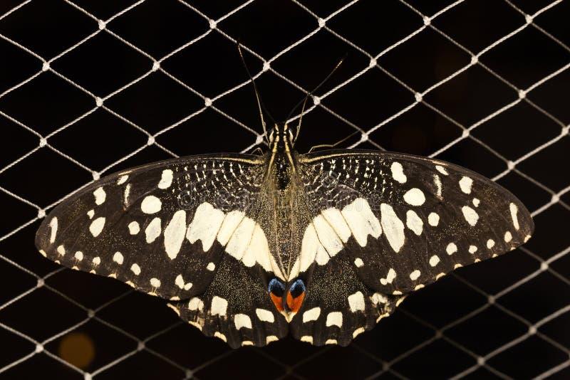 在网的蝴蝶 图库摄影