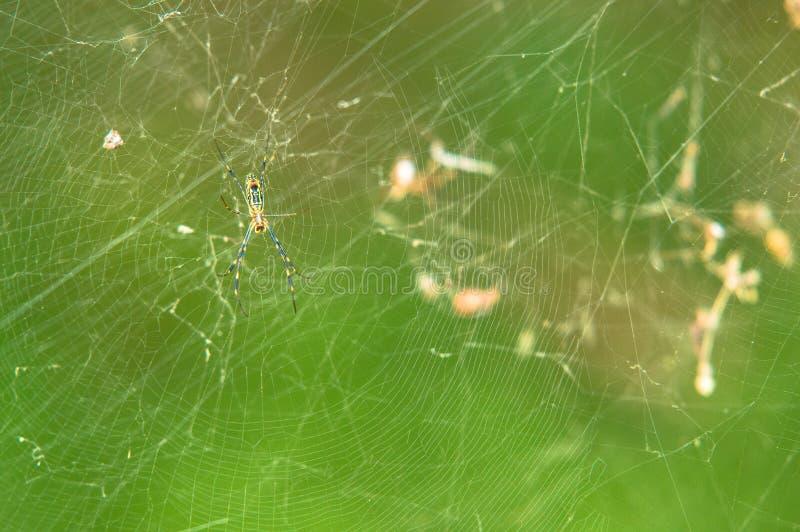 在网的黑和黄色花园蜘蛛 免版税库存图片