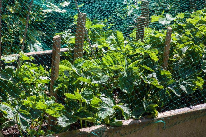 在网盖的草莓植物 免版税库存照片