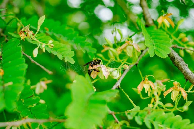 在罗望子树花树的黄蜂 库存图片