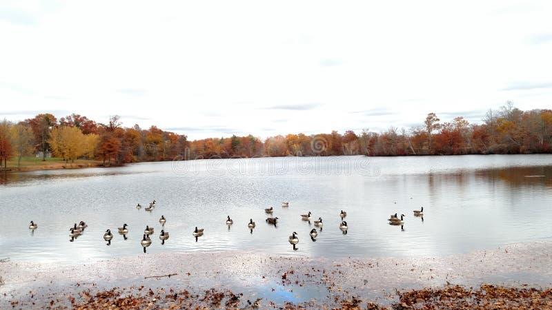 在罗杰威廉斯公园的鹅 免版税库存照片