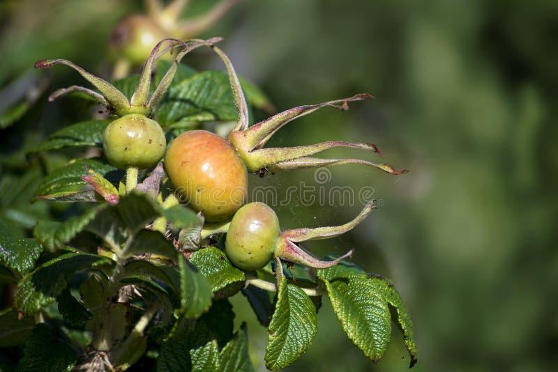 在罗莎rugosa灌木的野玫瑰果  免版税库存图片