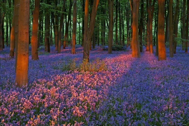 在美丽的会开蓝色钟形花的草木头的日落 免版税库存图片