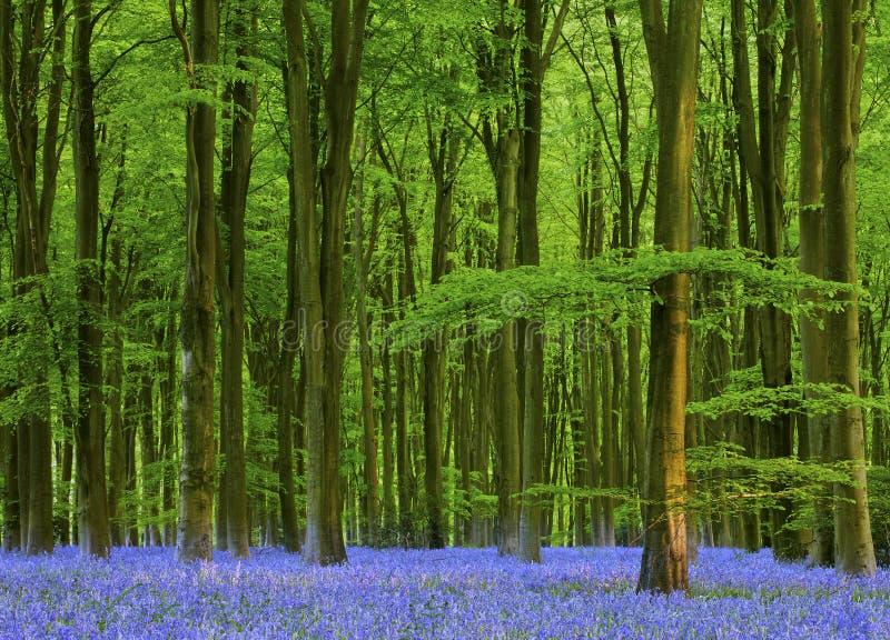 在美丽的会开蓝色钟形花的草木头的黄昏 图库摄影