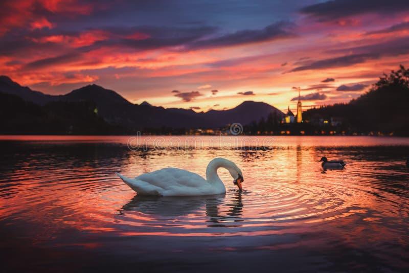 在美丽的布莱德湖的日出有天鹅的 免版税图库摄影