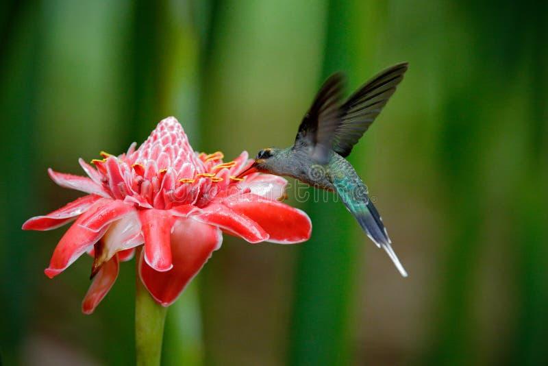 在美丽的桃红色红色花旁边的发光的鸟飞行在密林 行动哺养的场面在热带森林,动物里在自然密林ha 免版税库存图片