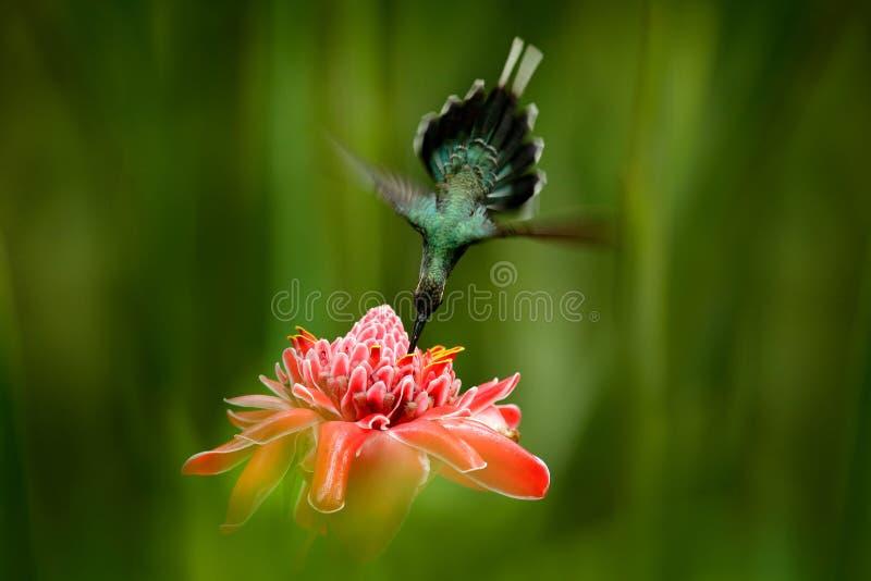 在美丽的桃红色红色花旁边的发光的鸟飞行在密林 行动哺养的场面在热带森林,动物里在自然密林ha 库存图片