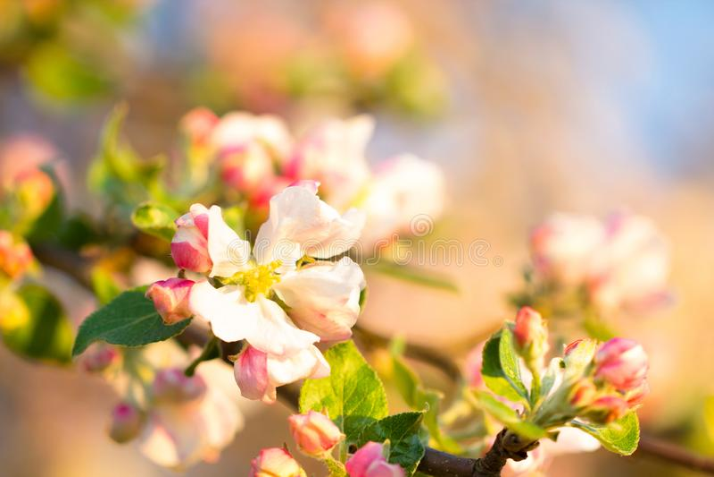 在美丽的桃红色花的软的春季阳光 库存图片