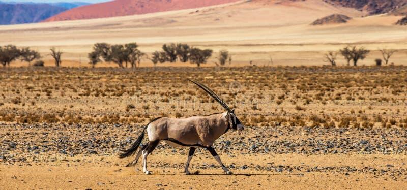 在美丽的沙丘的背景的羚羊属羚羊在Sossusvlei沙漠的 闹事 纳米比亚的风景 Sossusvlei 库存照片
