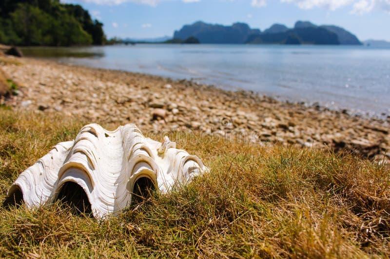 在美丽的海岸老壳的大白色贝壳在海洋和热带海岛背景 热带自然 : 图库摄影