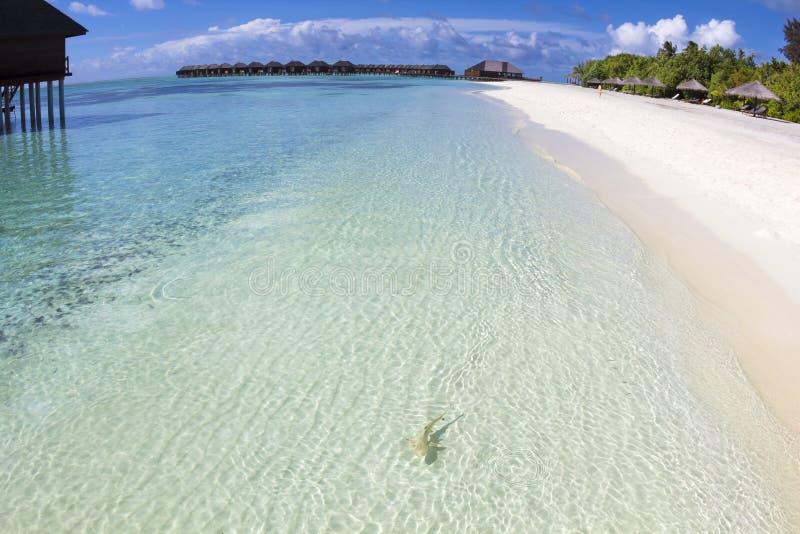 在美丽的海滩的鲨鱼。马尔代夫 免版税图库摄影